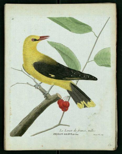 Gravures oiseau Loriot Buffon